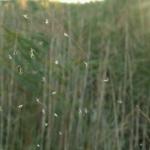 Паук-живодёр
