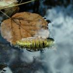 Водоплавающая гусеница